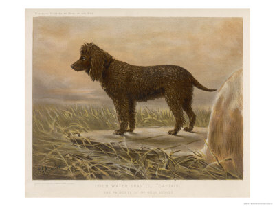 An Irish Water Spaniel in the Field