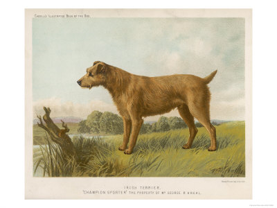 An Irish Terrier