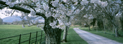 Cherry Trees and Path, Killaney, Ireland
