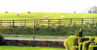 Sheep in Kiltale,Ireland