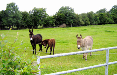 Donkeys at Lydons Farm